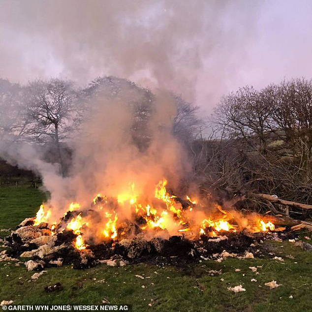 Farmer burns 800 fleeces after Covid curbs made wool 'worthless'