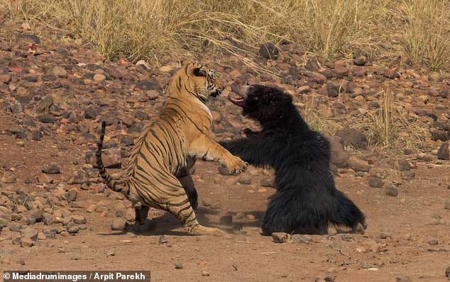 Fearless tiger attacks world's deadliest bear before the predators battle it out in bloody fight