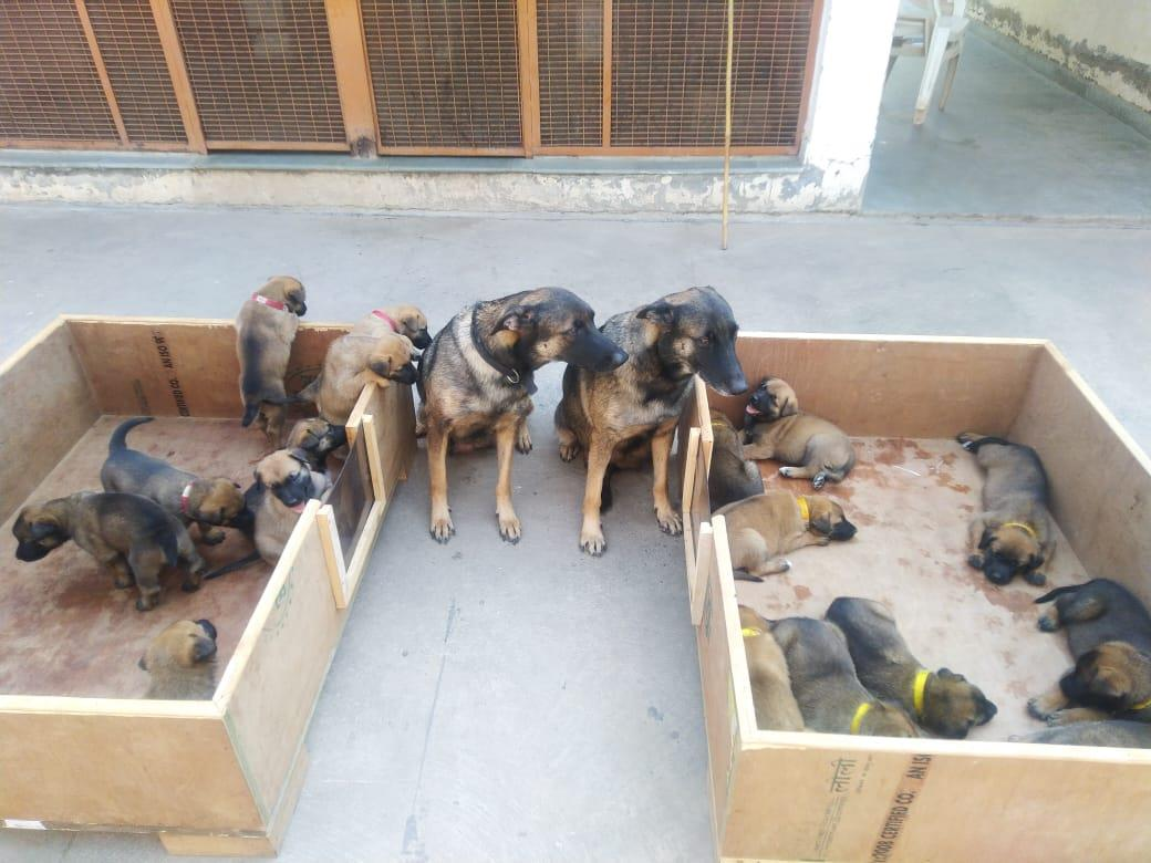ITBP's K-9 counter-insurgency veterans increase their ranks by giving birth to 17 pups