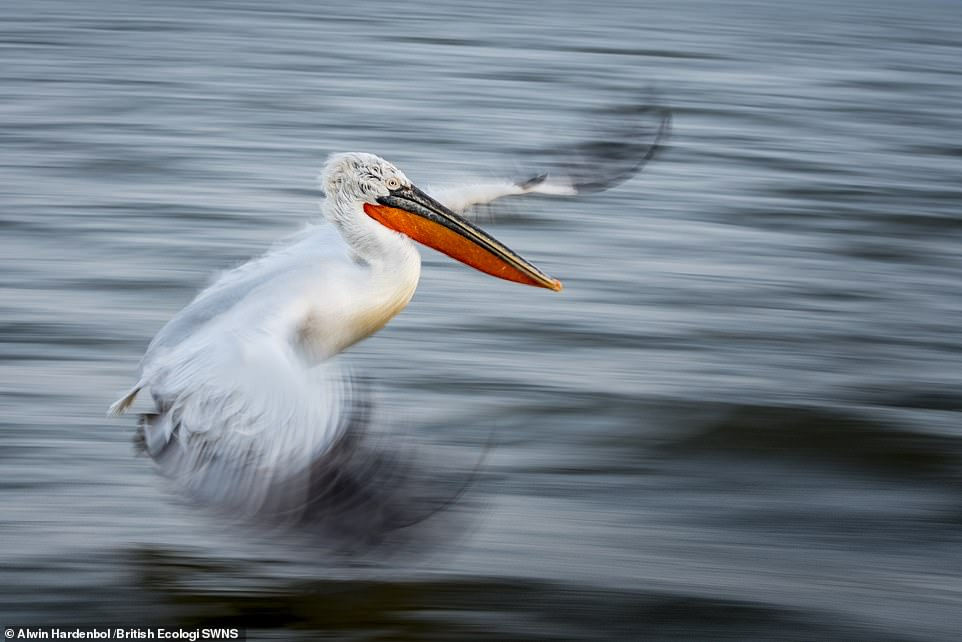 Majestic Dalmatian Pelican wins British Ecological Society's photography competition