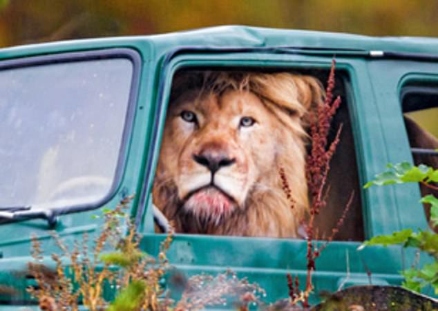 Mirror, signal, mane-oeuvre! Lion is pictured looking ready for a roaring ride around safari park