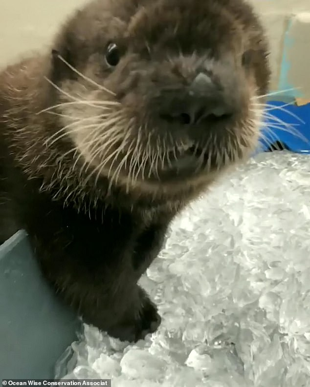 Orphaned sea otter Joey chomps on ice cubes at Canadian rescue centre