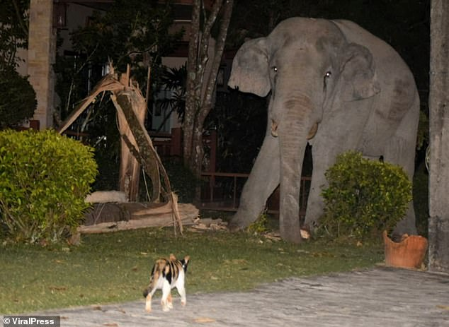 Pet kitty chases away four-tonne elephant that wandered into its garden looking for food in Thailand