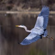 Photographer captures heron being attacked by eel in flight   The State
