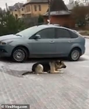 Sled dog! German Shepherd can't get to grips with icy pavement and slides along on his belly