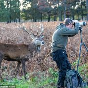 Wildlife photographer is clueless stag has crept up behind him as he tries to capture a shot