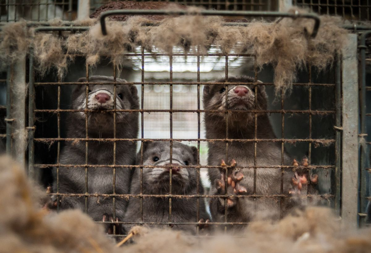 Coronavirus in Denmark: how the sacrifice of millions of minks to stop the covid-19 unleashed a political crisis in the Scandinavian country   The State