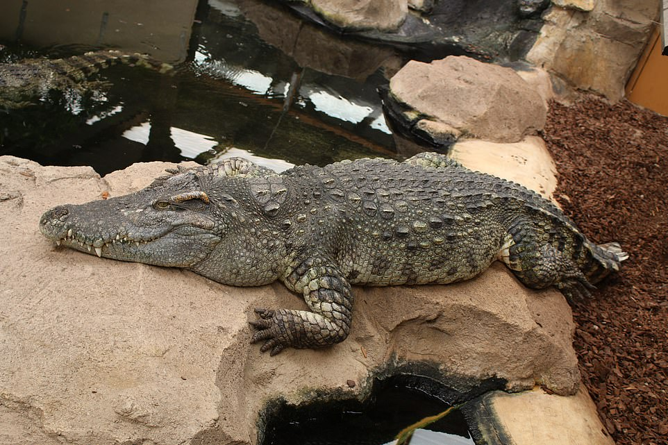 Crocodiles Of The World is home to more than 150 crocs, along with alligators and caimans, many of which have been rescued from private collections where they had been mistreated. Pictured is one of the crocs at the zoo