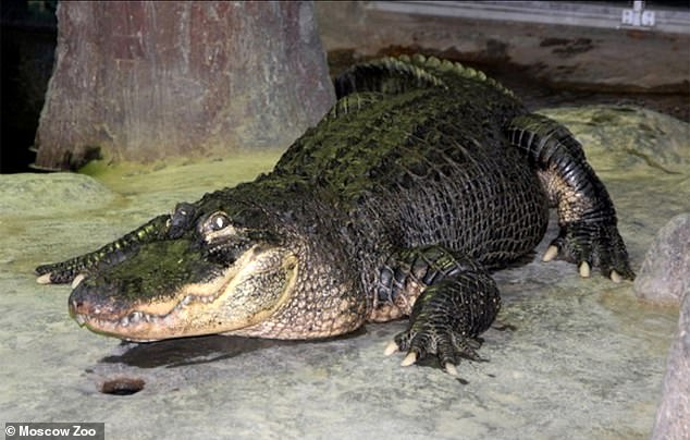 An alligator rumoured to have belonged to Adolf Hitler has been preserved for posterity after dying this year at Moscow Zoo