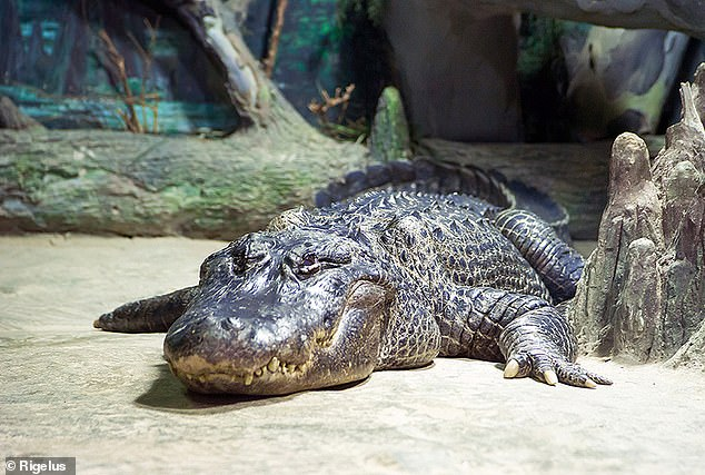 Known to have been a pre-war star attraction at Berlin Zoo in Nazi Germany, the story also circulated that the reptile had been in the Führer's personal pet collection. The alligator is pictured above before its death