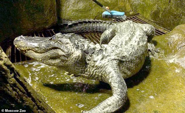 Saturn the alligator rumoured to have belonged to Adolf Hitler died at Moscow Zoo earlier this year