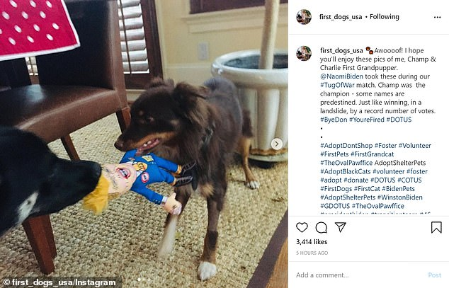 Champ and Naomi Biden's dog Charlie (above) were pictured playing tug of war with a Donald Trump doll in snaps shared on social media