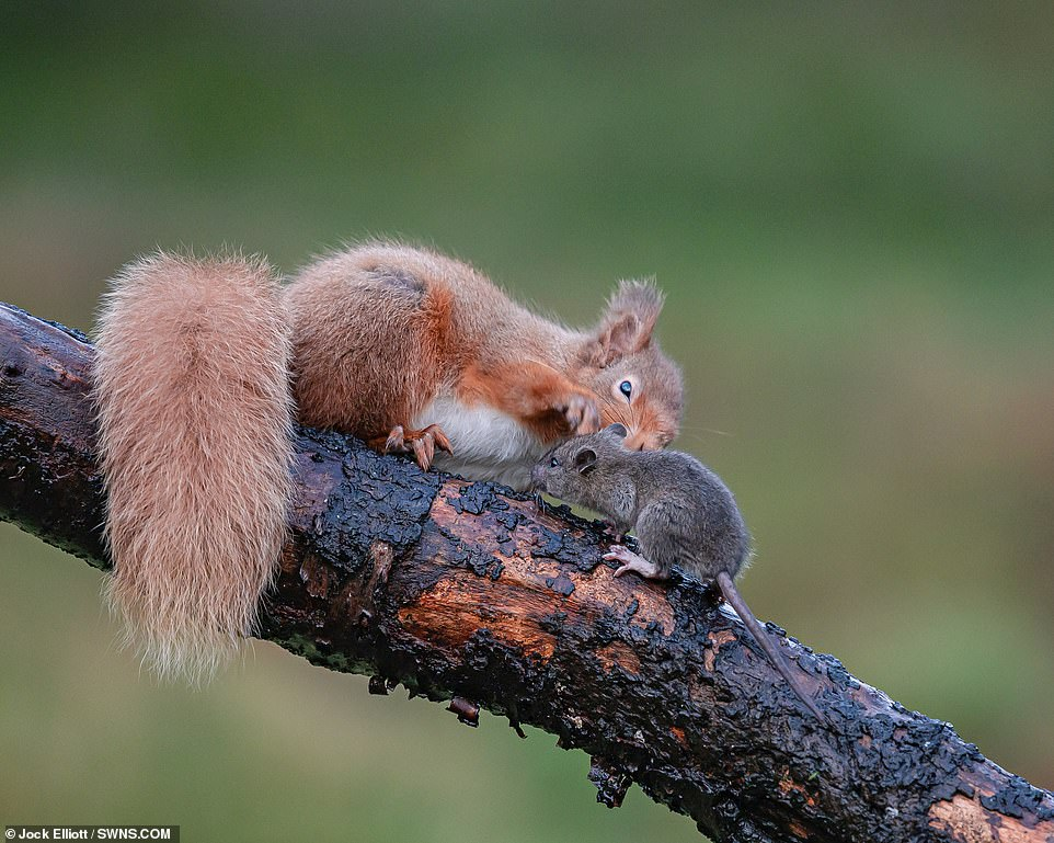 The rat came face to face with a red squirrel on the branch who refused to yield its position on top of the branch