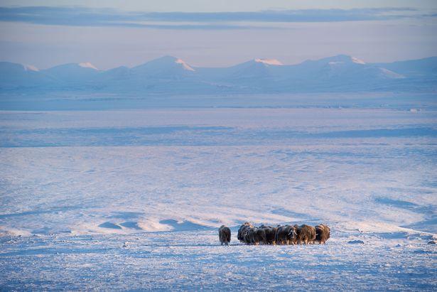 Musk ox on Ellesmere Island, Nunavut, Canada