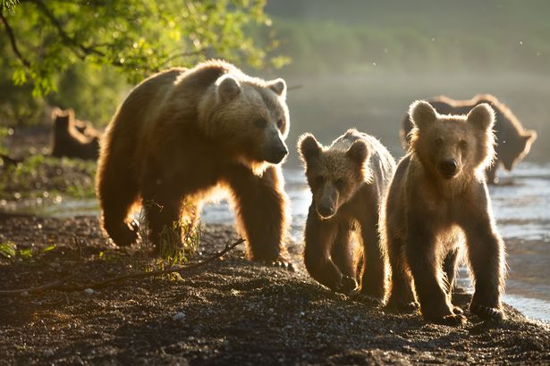 Mother and two cubs in Kurile Lake, Kamchatka, Russia