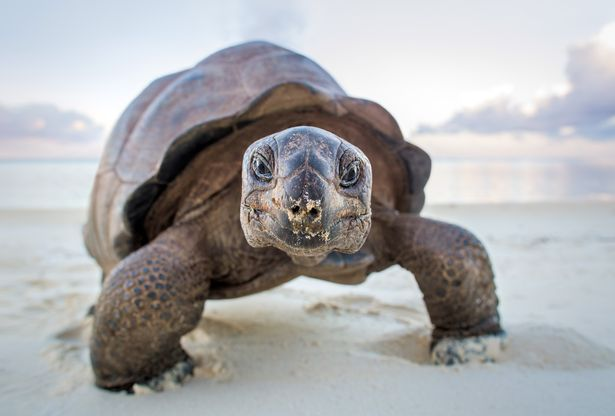 Once hunted to near extinction, there are now around 100,000 giant tortoises living on Aldabra Island - a remote and uninhabited atoll in the Indian Ocean. Giant tortoises can go without foodand water for weeks at a time and the ancestors of those on Aldabra today likely floated there fromother islands and land masses.