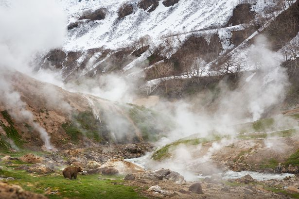 A Brown bear in the Valley of the Geysers, Kamchatka, Russia