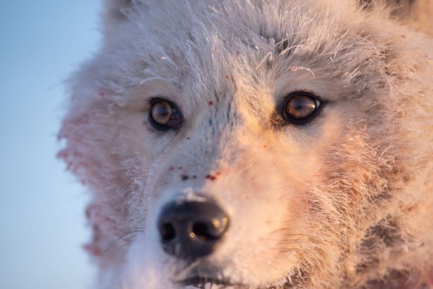 An arctic wolf hunting on Ellesmere Island, Nunavut, Canada
