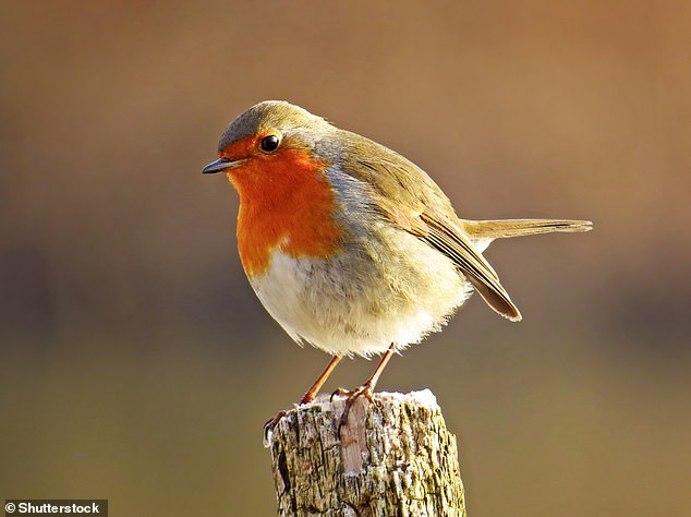 Robins feed on insects (especially beetles), worms, fruit, seeds, suet, crushed peanuts, sunflower hearts and raisins