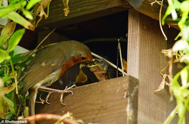 European robin, Erithacus rubecula, with grubs in its beak feeding its young in a garden nesting box, Painswick, Gloucestershire, UK