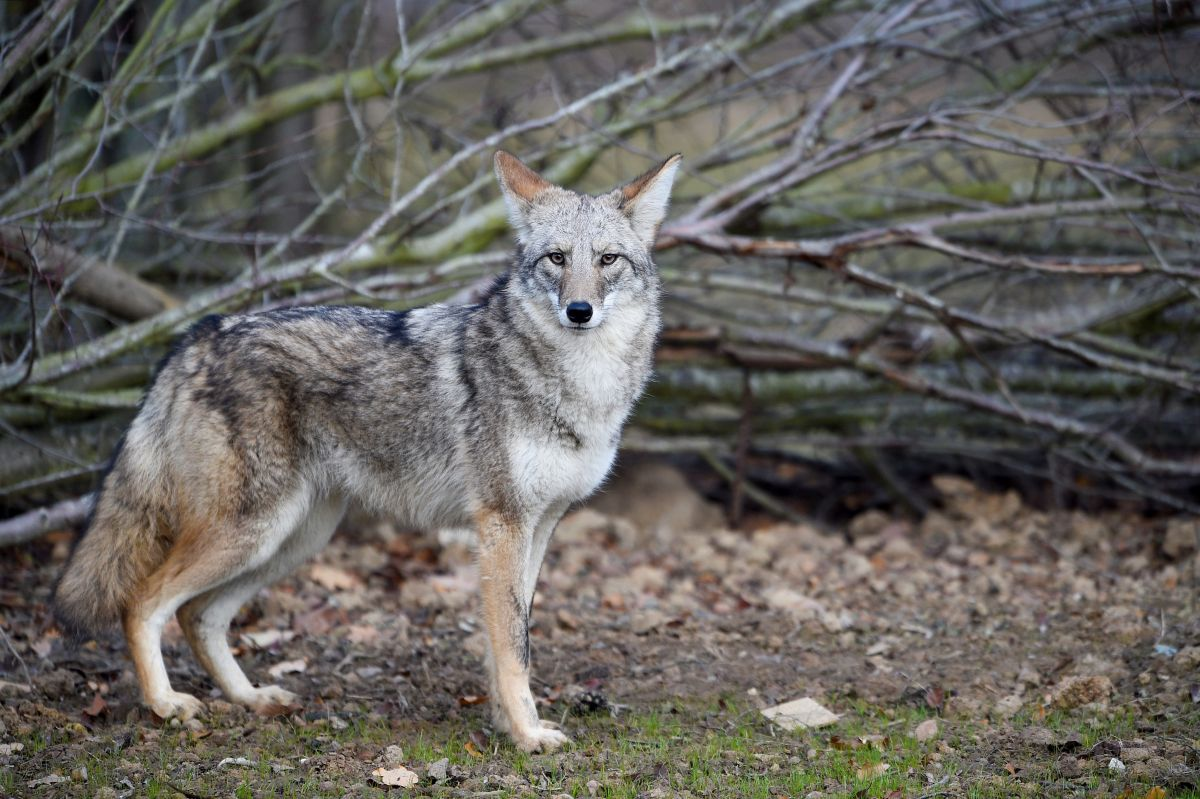 Alert for coyotes prowling Queens and Long Island   The State