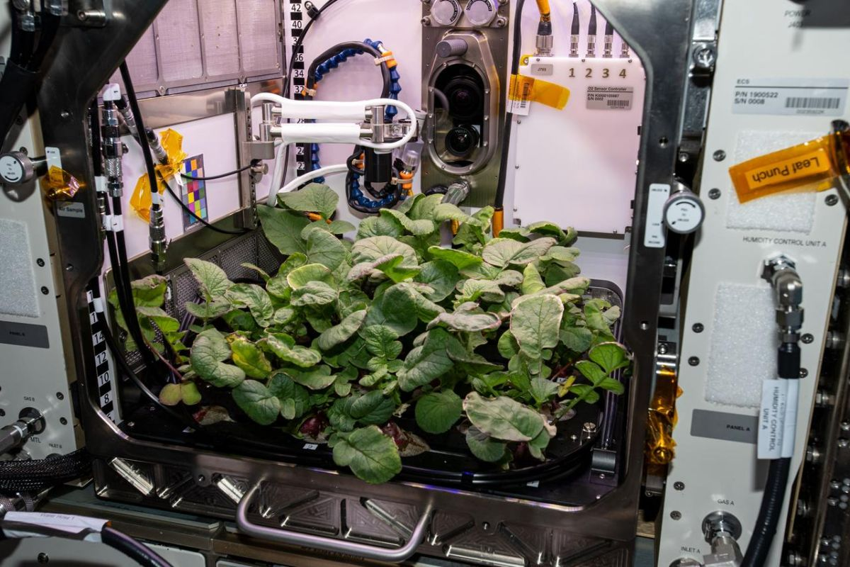 Astronauts harvest radishes for the first time on the ISS | The State