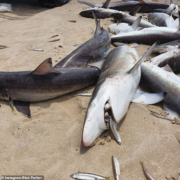 Authorities investigate as dozens of dead sharks wash up on the beach at South Stradbroke Island