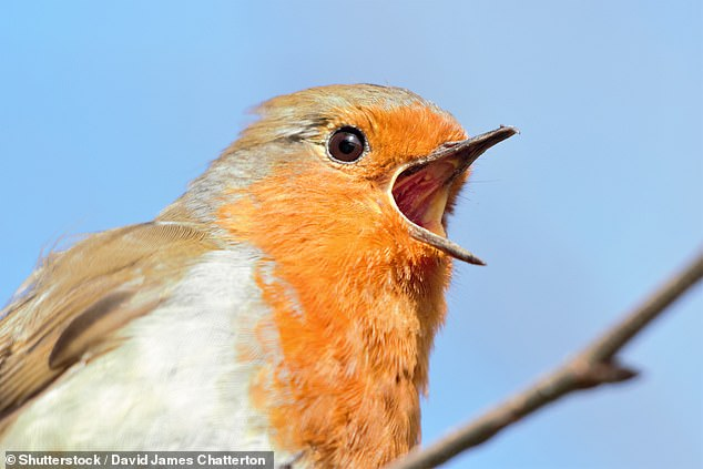 People get just as much extra life satisfaction from living in area with plenty of bird species as they do from getting a pay raise, a study has claimed. Pictured, a robin