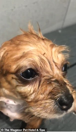 Horrific moment 100 dogs covered in fleas and feces are rescued from hoarder's California home