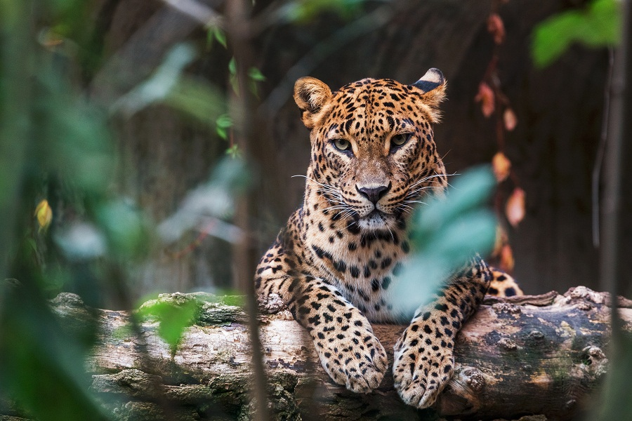 Leopard population in India grows by 60 pc