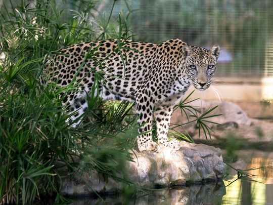 Mohammed bin Salman orders the establishment of a Fund to protect the Arabian Leopard