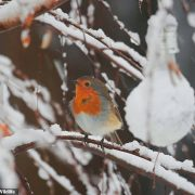 Save the Robin: Wildlife experts say it's a critical time to support the 'UK's national bird'