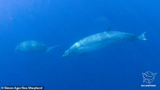Scientists say they've found a previously unknown whale species 'as big as a horse'