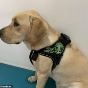 Specially-trained dogs can detect people with Covid-19 just by sniffing their armpits, study finds