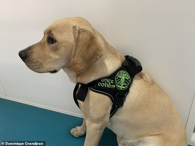 Researchers from the National Veterinary School of Alfort, France, recruited six dogs previously trained to sniff out other things and re-trained them to detect Covid-19