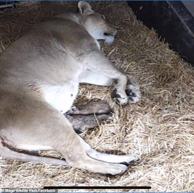 Tragedy as Mogo Zoo's beloved African lioness Zuri dies after birth – losing two cubs as well