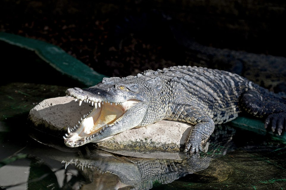 UK crocodile zoo allows visitors to feed its 150 reptile residents