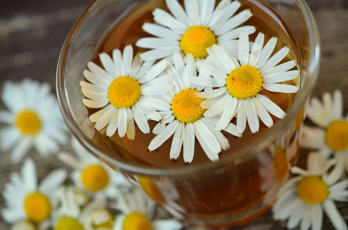 What a cup of chamomile tea a day will do for your health | The State