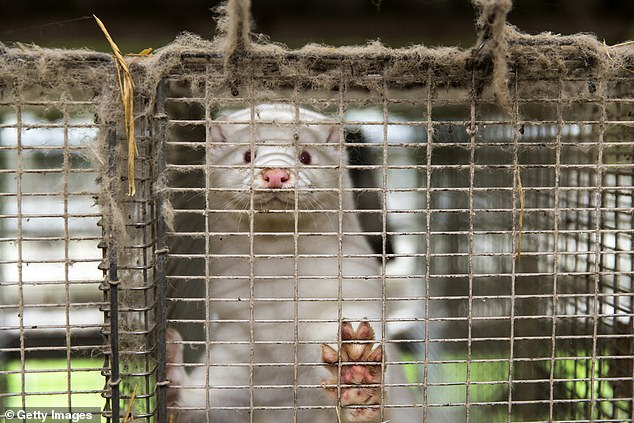 Wild mink in Oregon tests positive for coronavirus after escaping from 'quarantined fur farm'