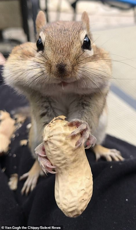 After shoving the nuts making in his mouth, his cheeks began to bulge