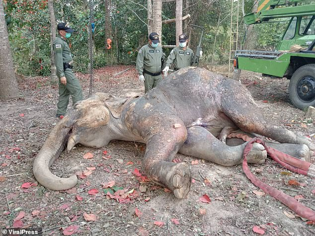 Veterinarians had battled to save the elephant despite the wounded animal crushing a park ranger to death with its trunk during treatment (pictured, the animal after its death)