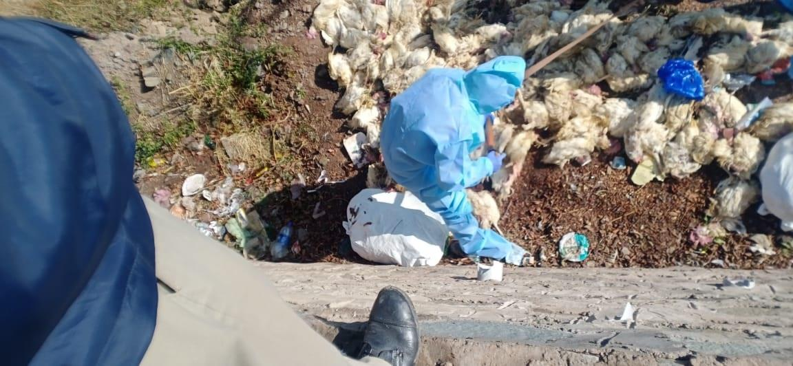 Dead chicksdumped along highway in Solan test positive for avian influenza