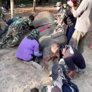 Double tragedy as elephant shot 43 times dies – after crushing ranger to death