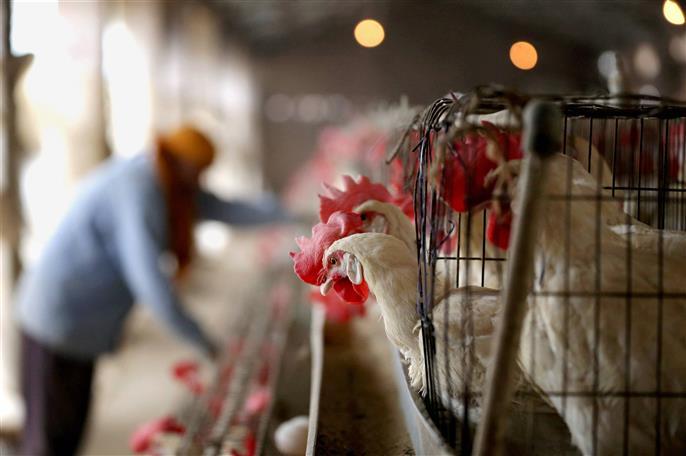 Hundreds of dead chicken found dumped in Patiala village