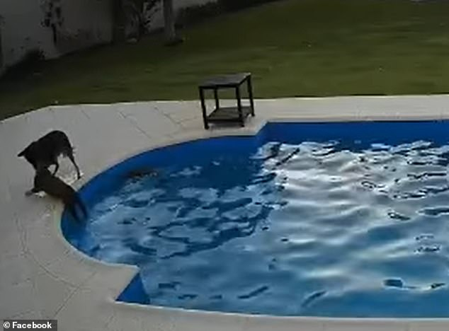 Moment dog saves blind 14-year-old blind pit bull from drowning in pool and pulls her out to safety
