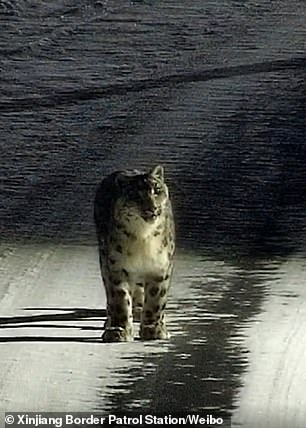 Protected snow leopard is spotted wandering on a road in a Chinese town 7,000 feet above sea level