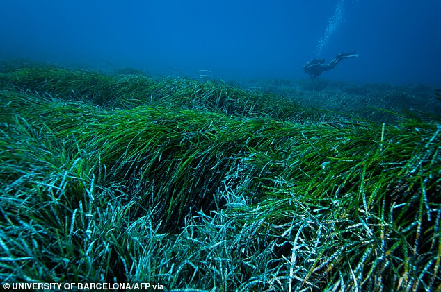 Seagrass 'Neptune balls' may be key to clearing oceans of plastic