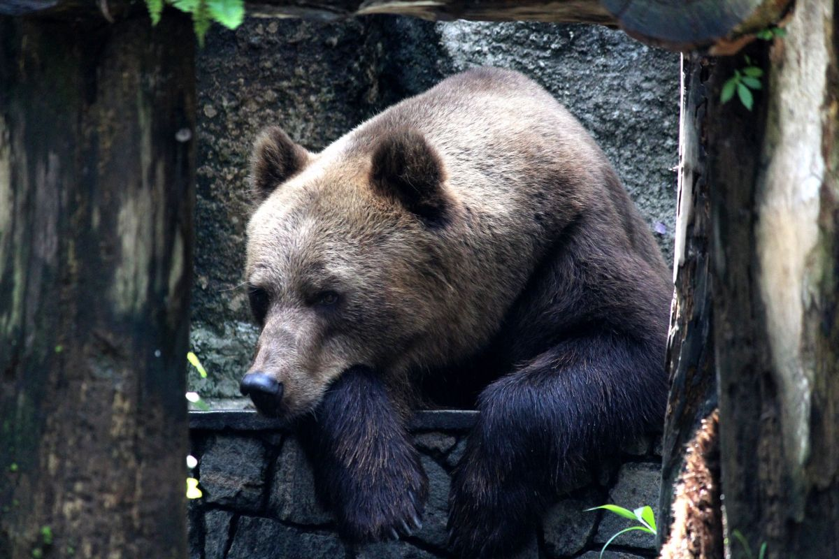 The sad reaction of a bear that was released after 20 years locked in a cage | The State