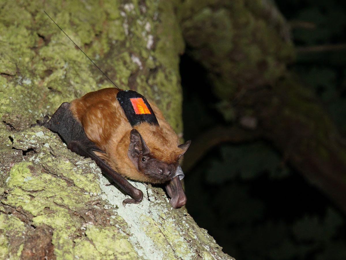 A bat with reddish fur sits on a tree branch with a small sensor on its back.