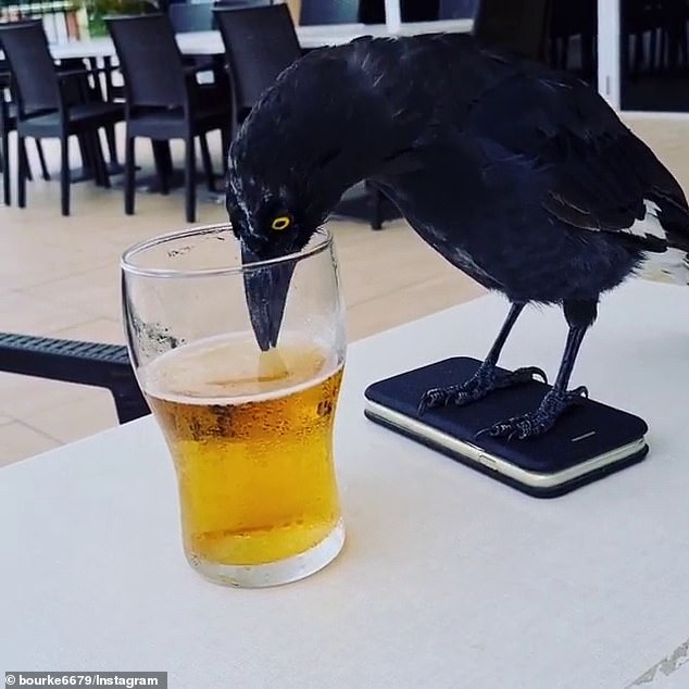 What happened to no shoes, no service? Thirsty currawong takes a sip of beer at a pub